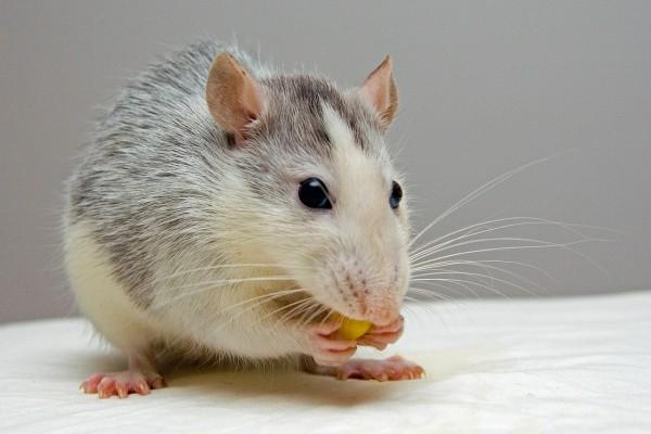 Mój przyjaciel szczur
